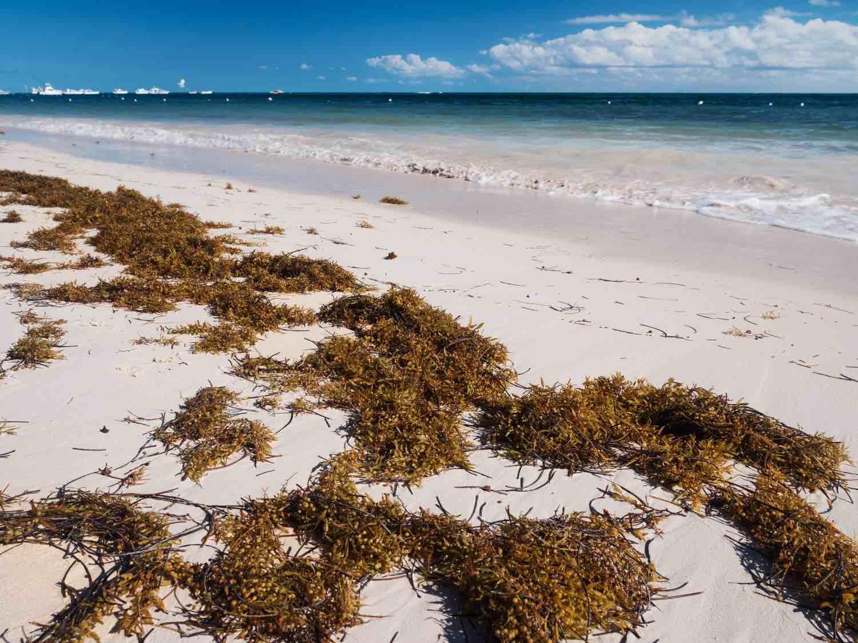 algas y sargazo en playas